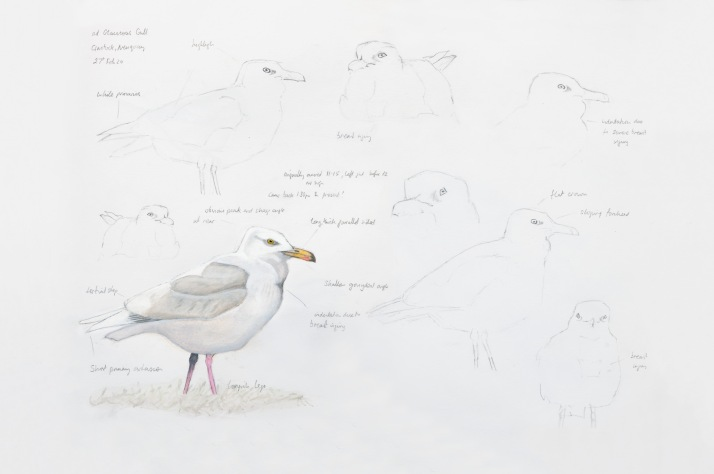 Glaucous Gull near Newquay in Cornwall